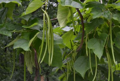 Seed pods of northern catalpa, Catalpa speciosa