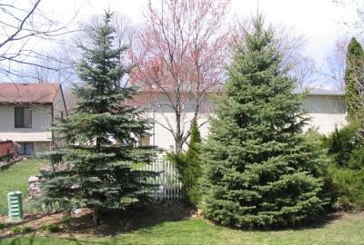 Two blue spruce trees about 12 feet tall in yard