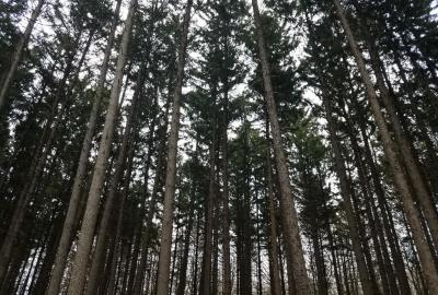 Spruce Plot at The Morton Arboretum, grove of tall spruce trees