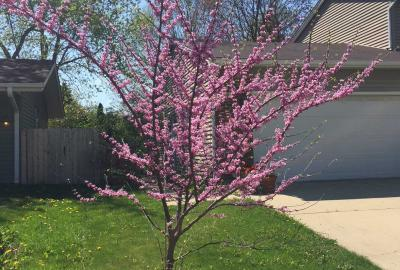 Small redbud tree in bloom in yard