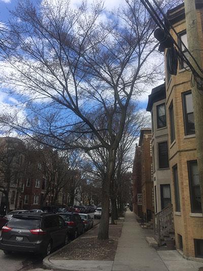 American elm on city parkway