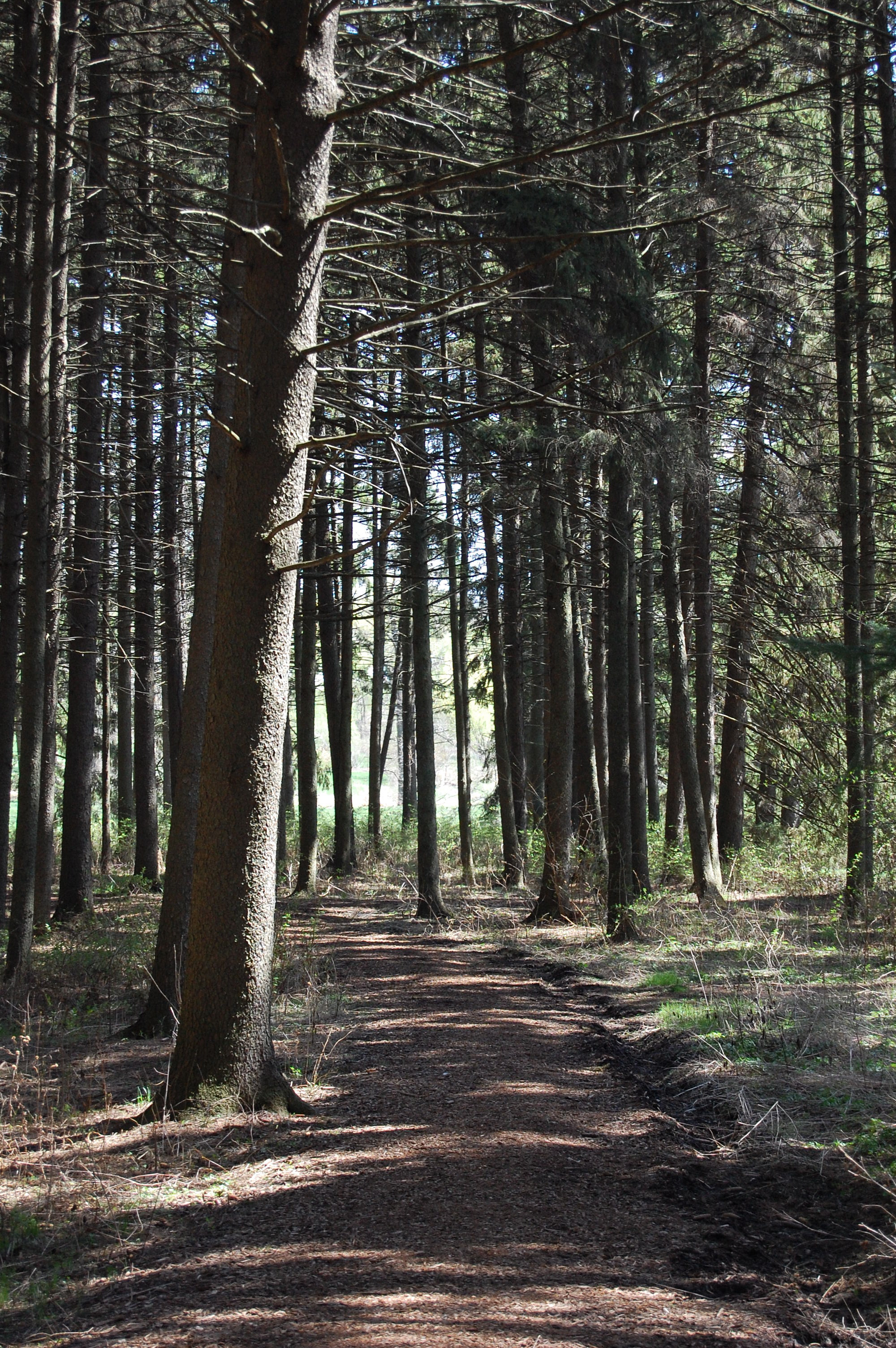 Photo of Spruce Plot at The Morton Arboretum, a grove of tall spruce trees
