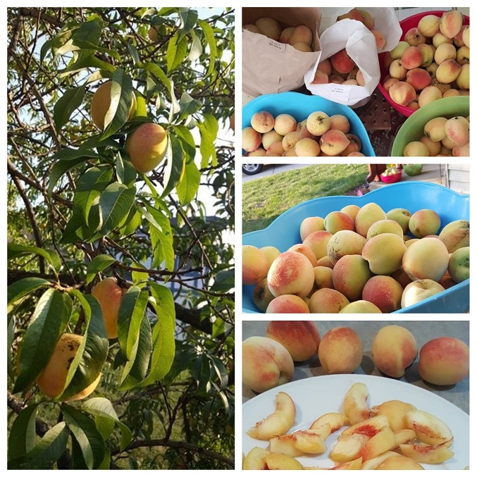 Peach tree produce